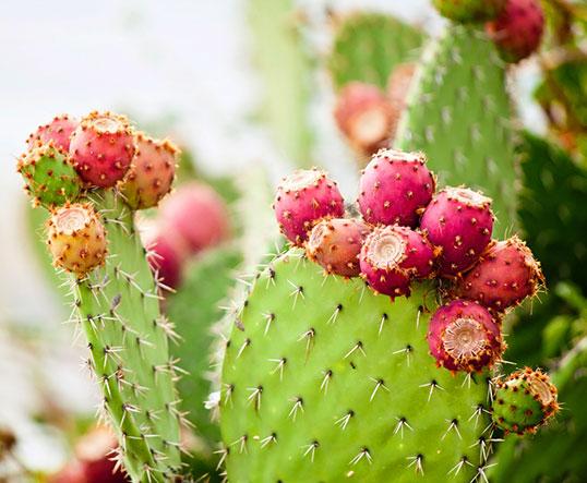 La litramine de XLS Medical Capteur de Graisse est présente naturellement dans le cactus du Mexique